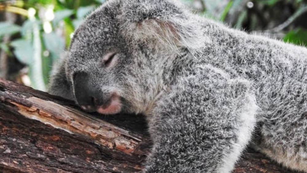 slapende koala liggend op een boom