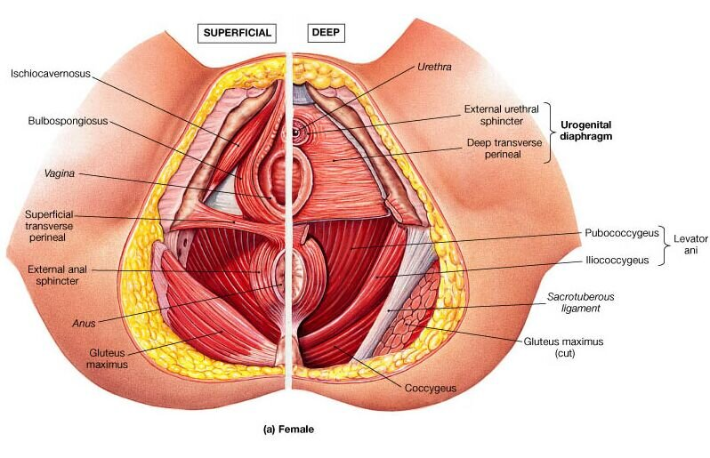 one half of female pelvic bone diagram hypertonic pelvic floor dysfunction   vaginismus     the sexmed advocate  hypertonic pelvic floor dysfunction