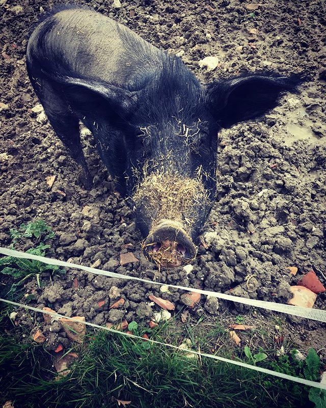 This is Pigasso, the pet pig. He's Spanish and lives at the bottom of the garden. He likes napping, going for walks, head scratches and chocolate milk. He will also love you forever if you take him your leftover bread and cheese (or fruit and veg, he's not too fussy) 🐖🥖🍅🍎🌽🍫🥛