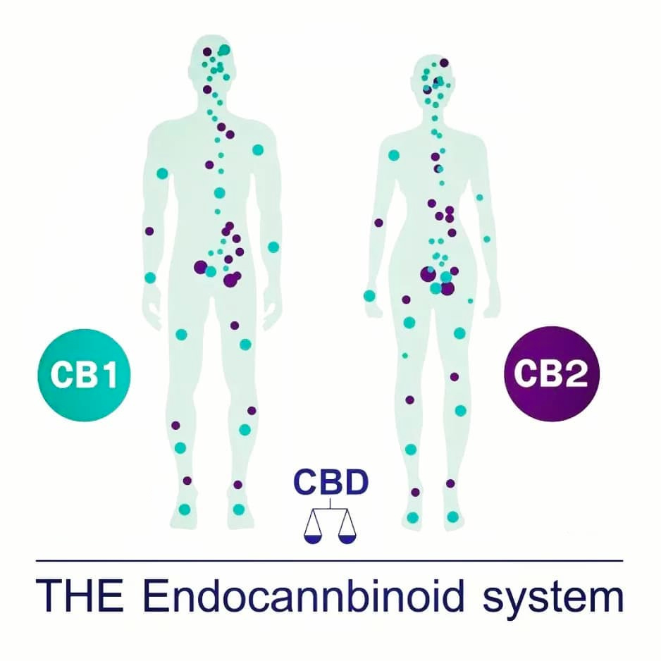 The-Endocannbinoid-System.jpg