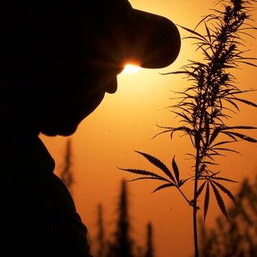 State, Federal Laws Now Allow Arizona Farmers to Grow Hemp - Arizona farmers will soon begin planting hemp as its byproduct - CBD oil - is exploding in popularity.