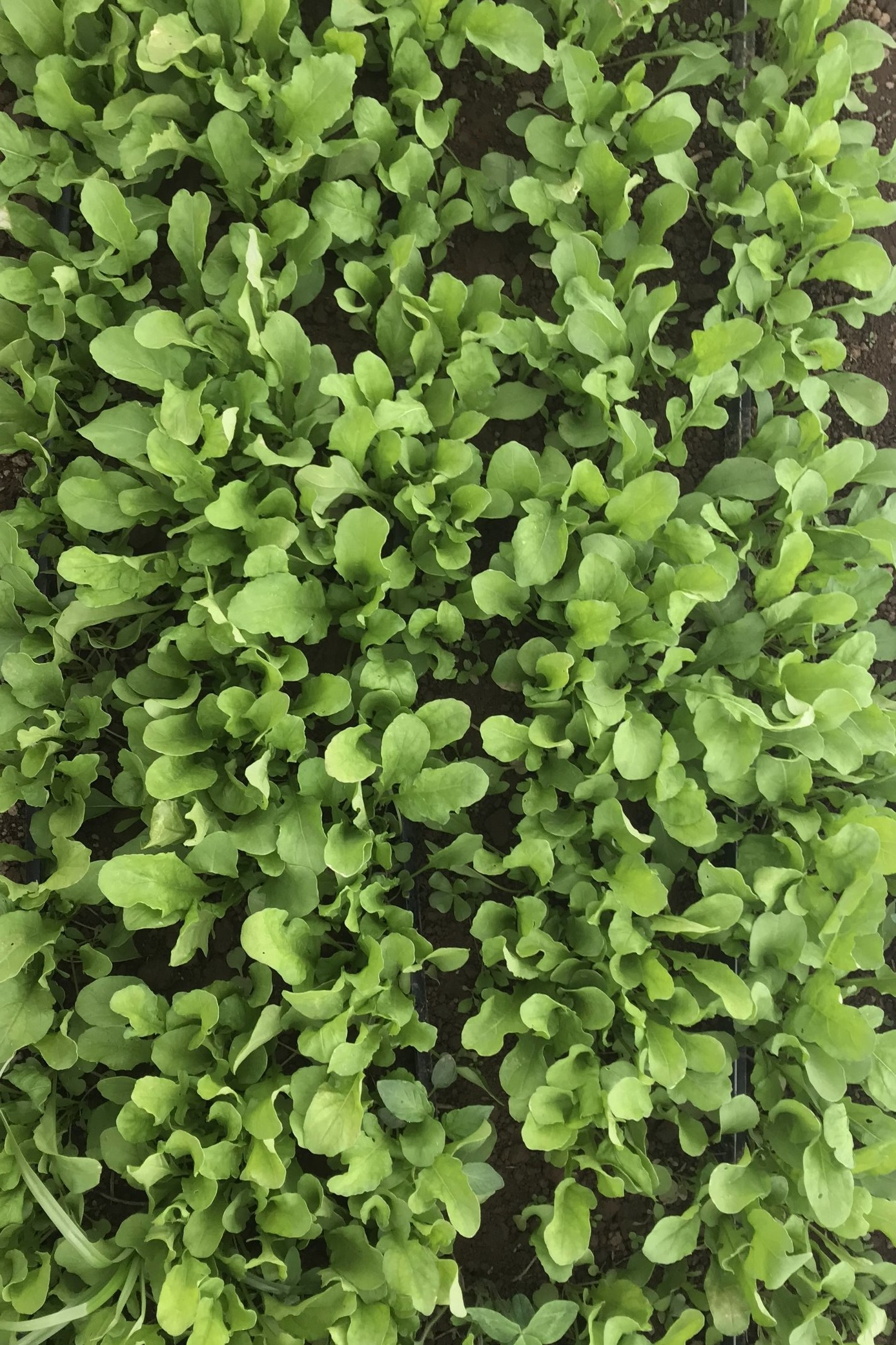 pdx+organic+salad+greens+2.jpg