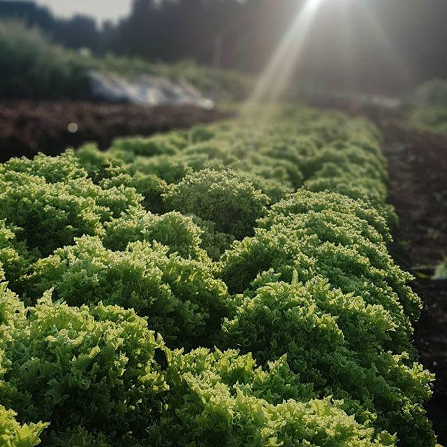 Shimmering on this 55° morning. Perfect weather for harvesting salad mix! We've got some special red orach this week for the @woodlawnfarmersmarket! . . . . #farmpunksalads #farmpunk #eatmoresalad #portlandfarmersmarket #notillfarming #regenerativeagriculture #handtended #handscale #smallscalefarming #youngfarmers #portlandcsa #pdxfarms #pdxfoodie #pdxeats #eatlocalpdx #portlandketo #pdxvegan