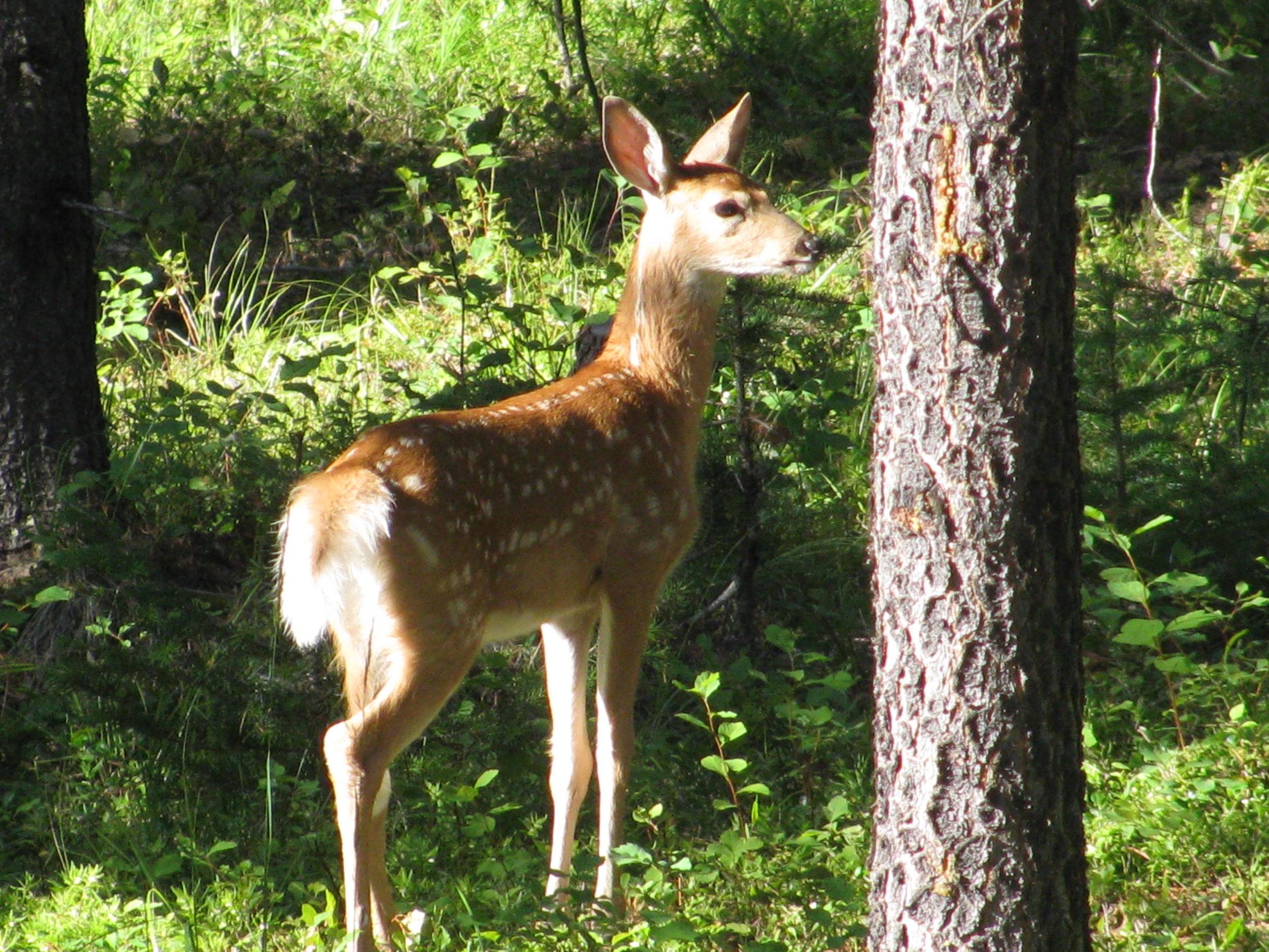 Deer 04.JPG