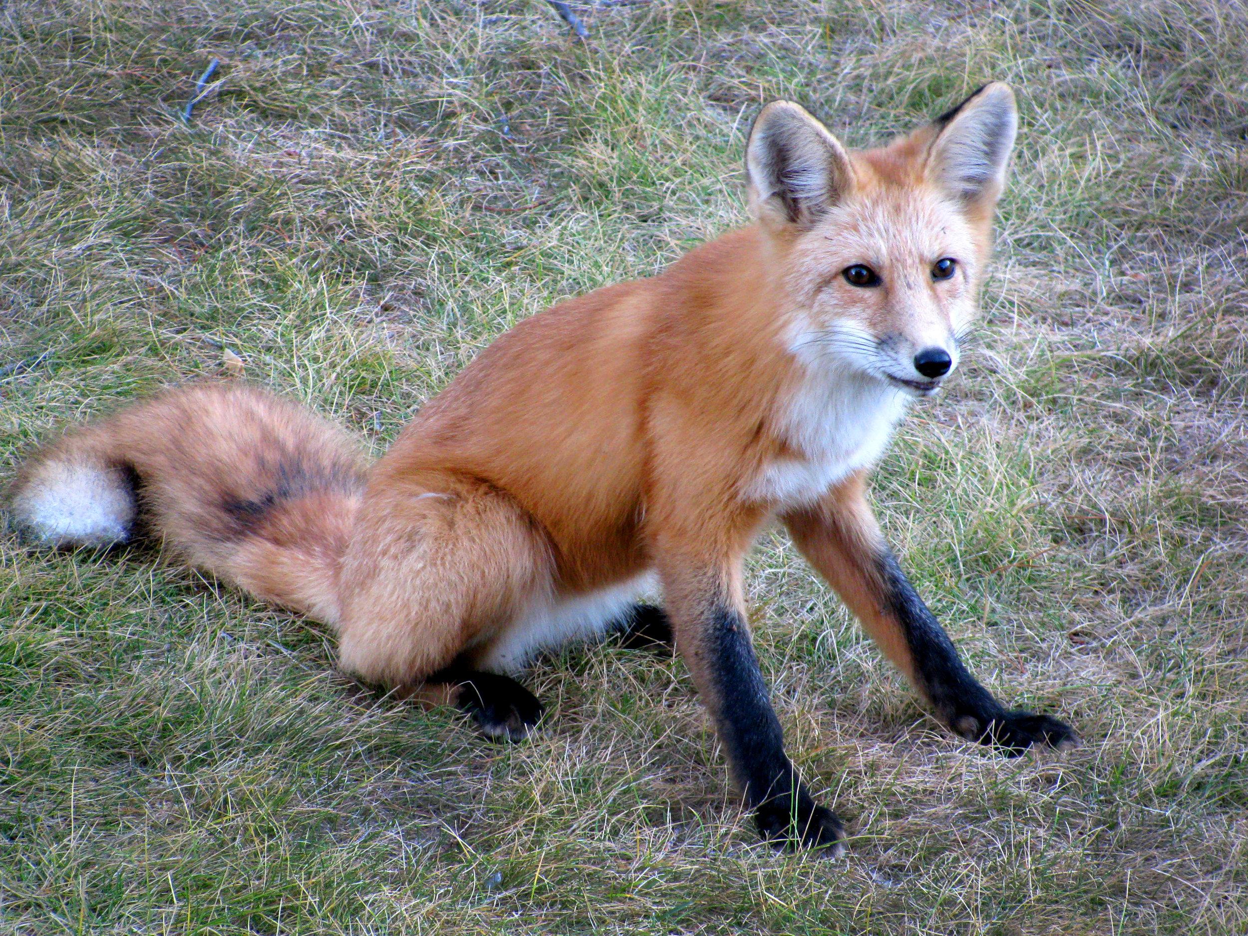 Fox 10.JPG