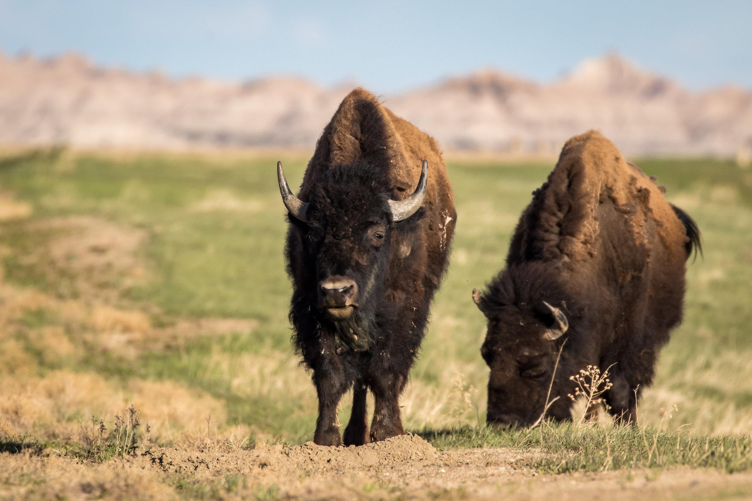 Badlands Bison-0846.jpg