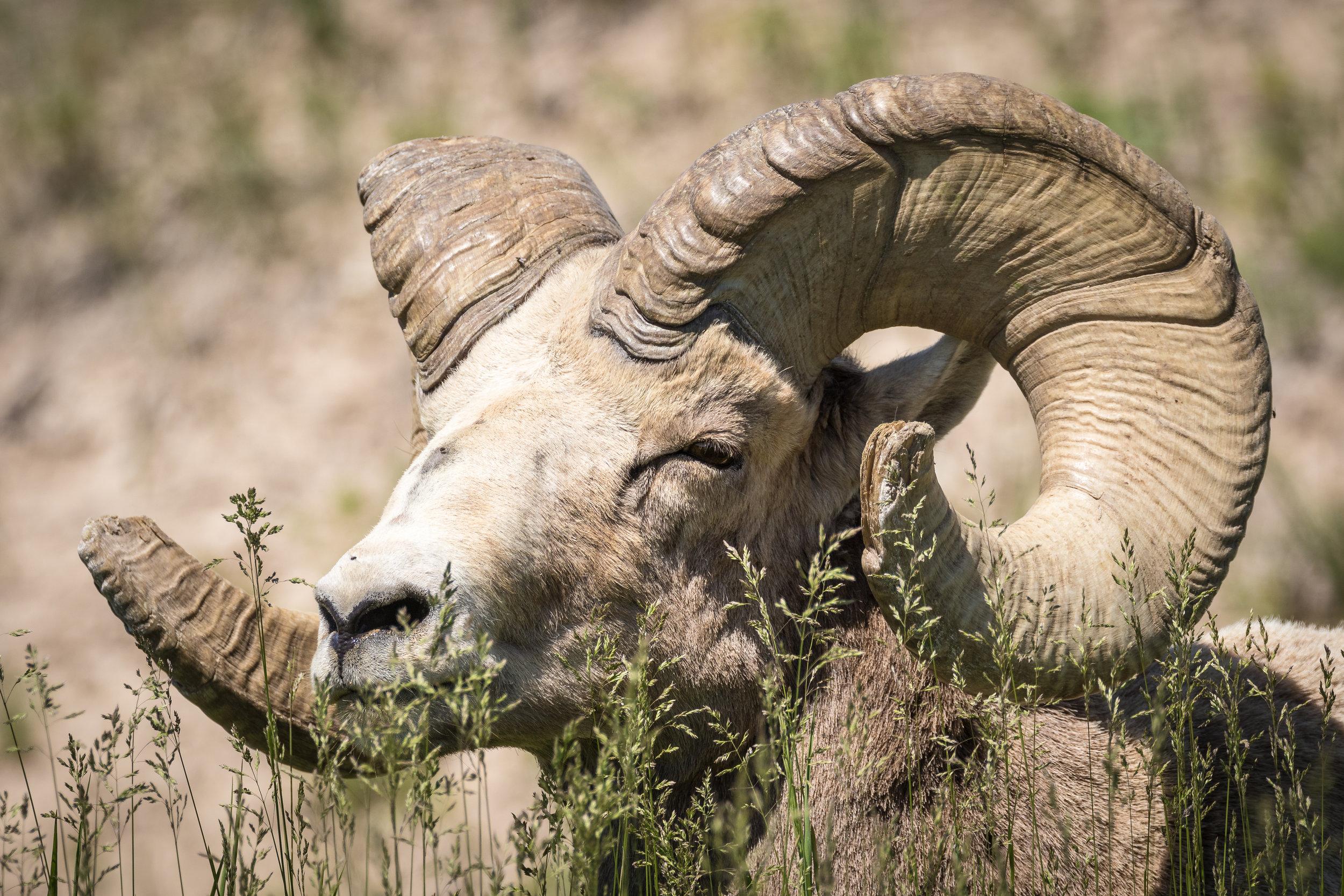 Badlands Bighorn Ram-4177.jpg