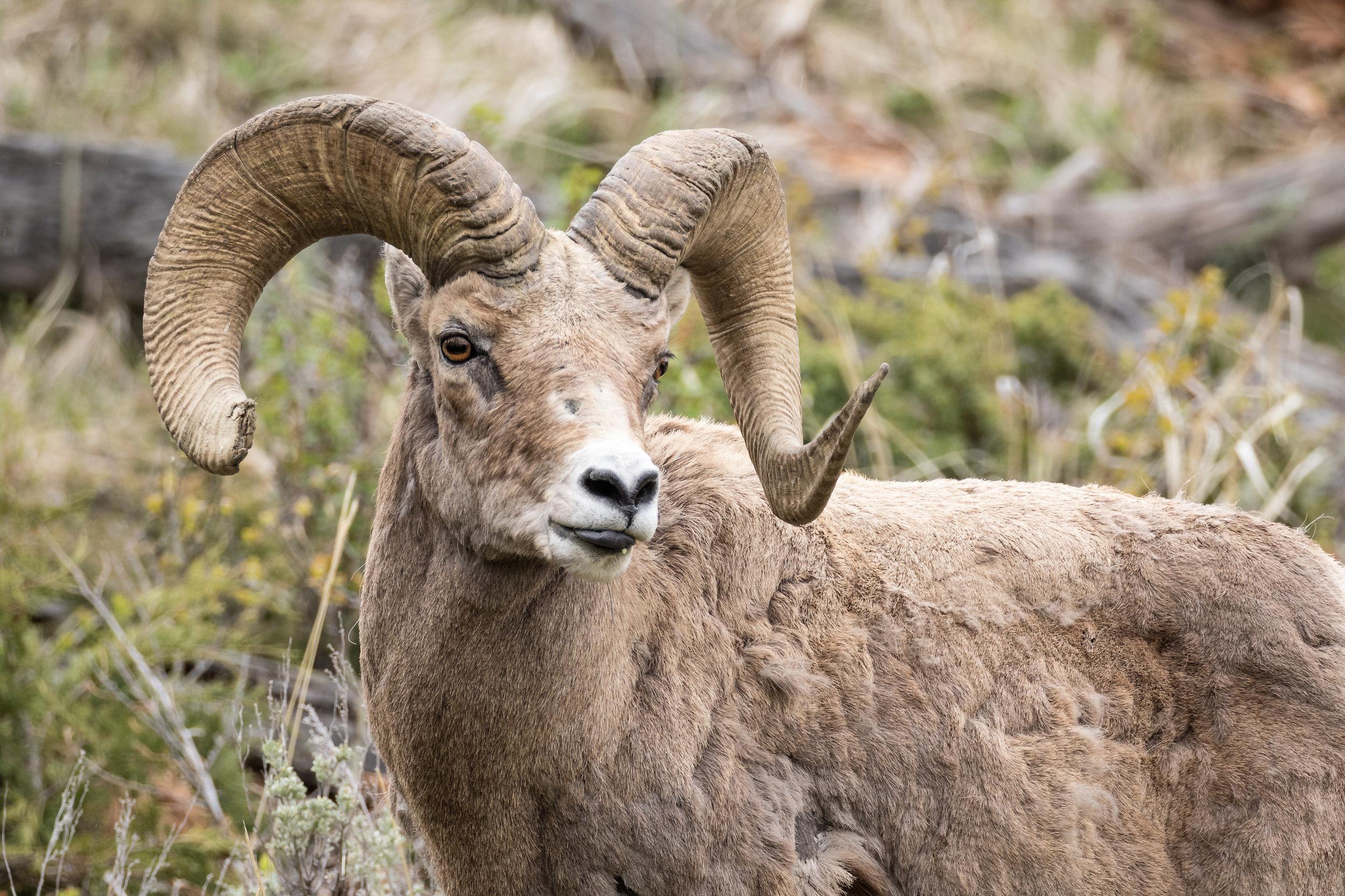 Bighorn Rams-2324.jpg