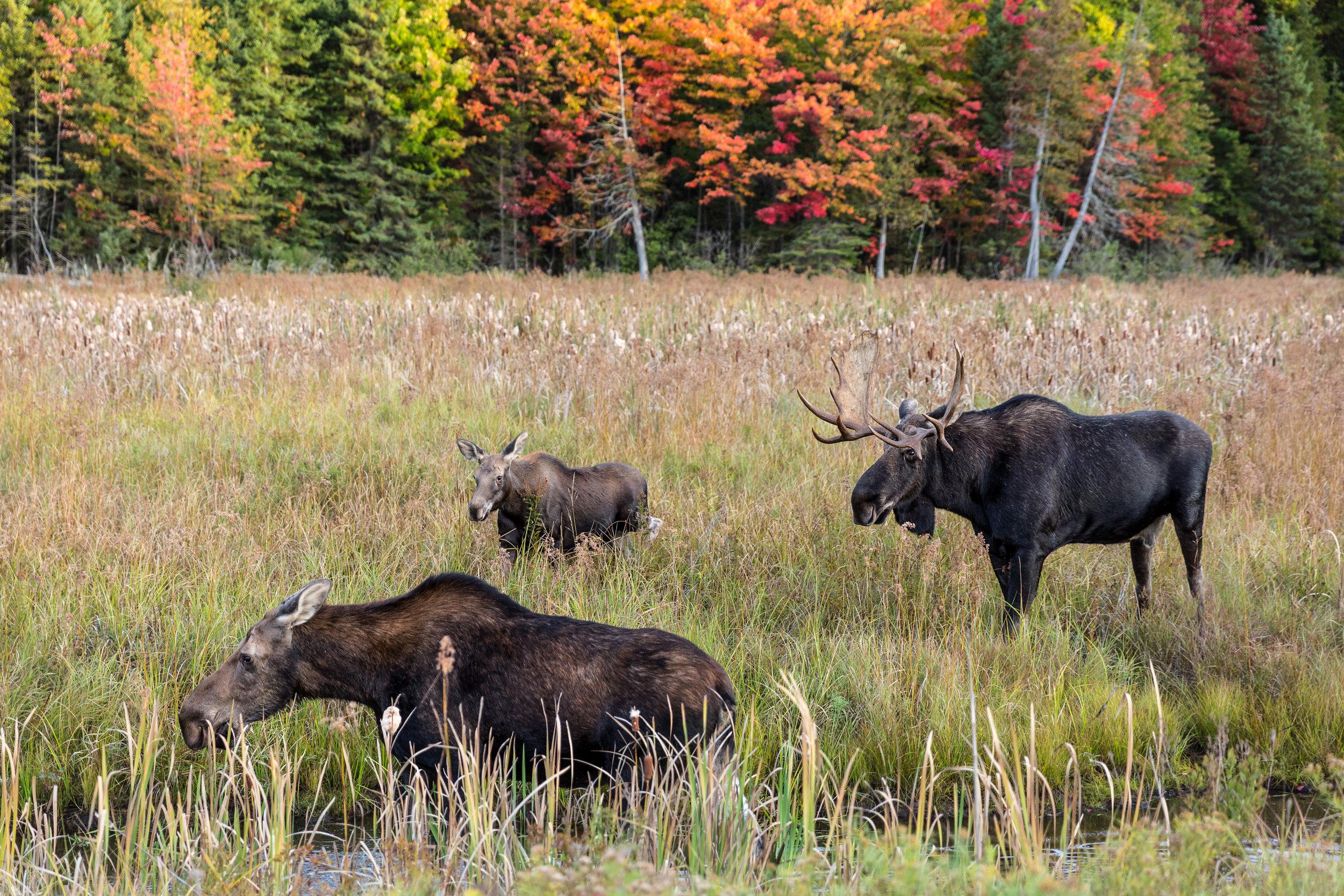 Bull Moose-1137.jpg