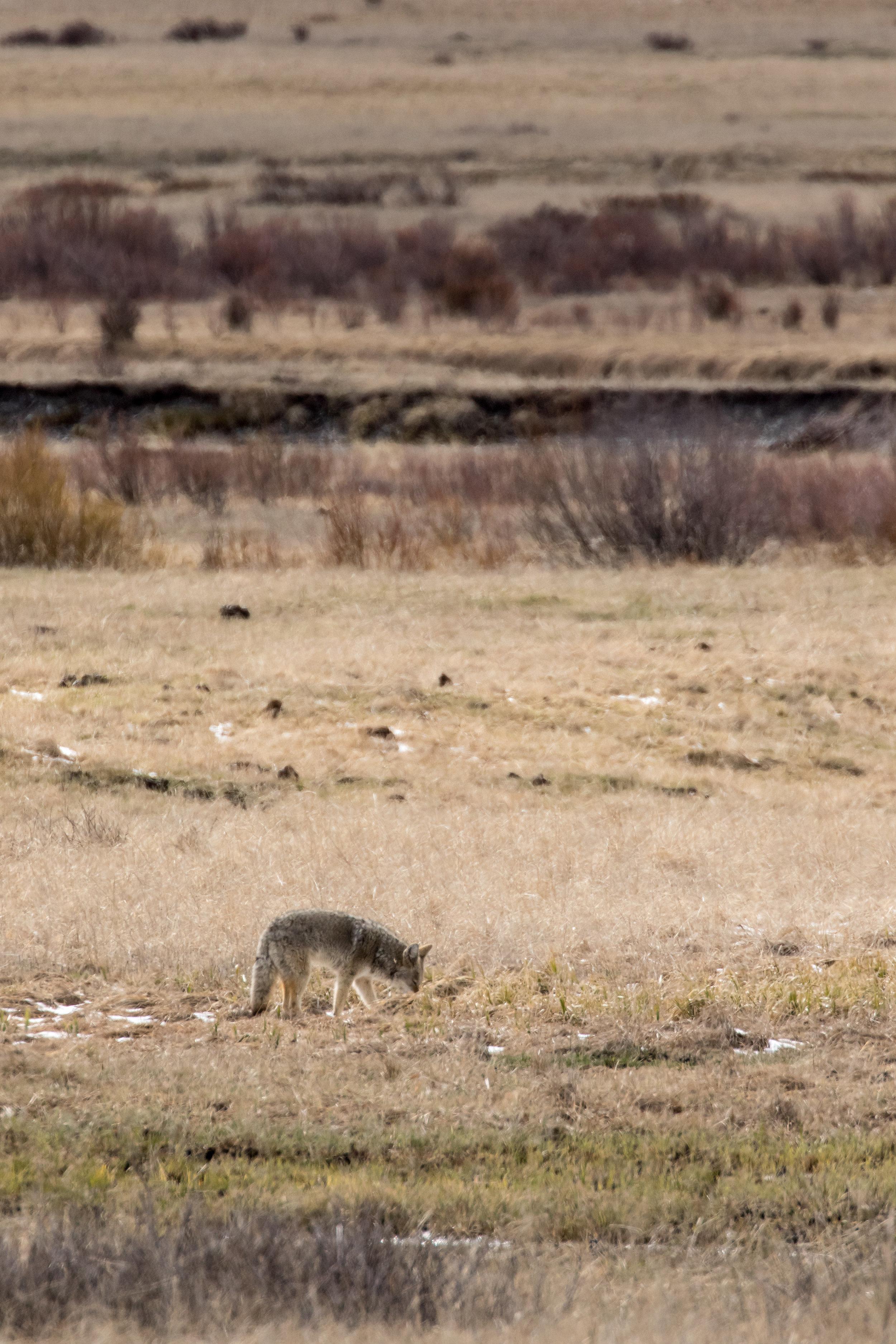 Coyote-7809.jpg