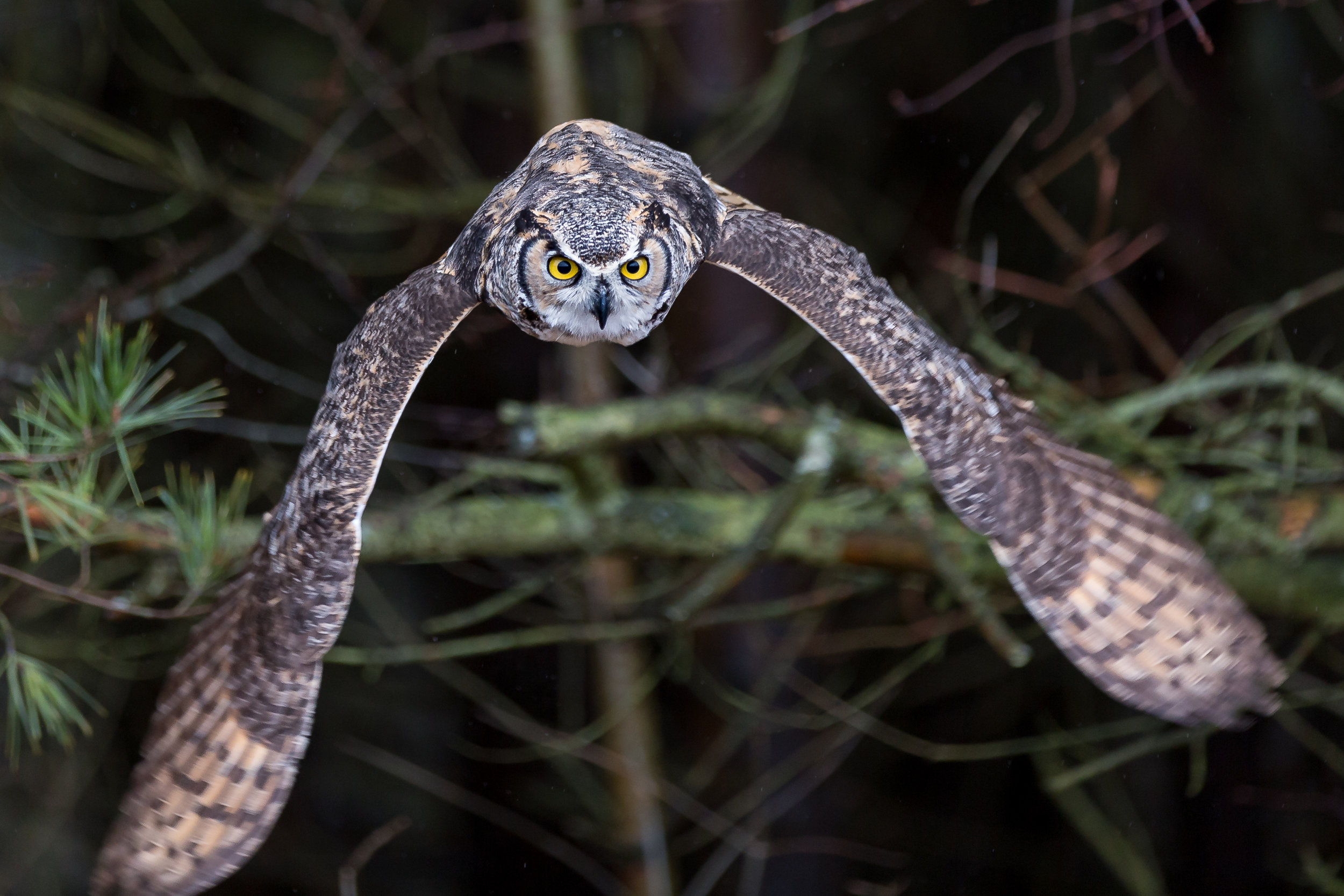 Great Horned Owl in flight-8975.jpg