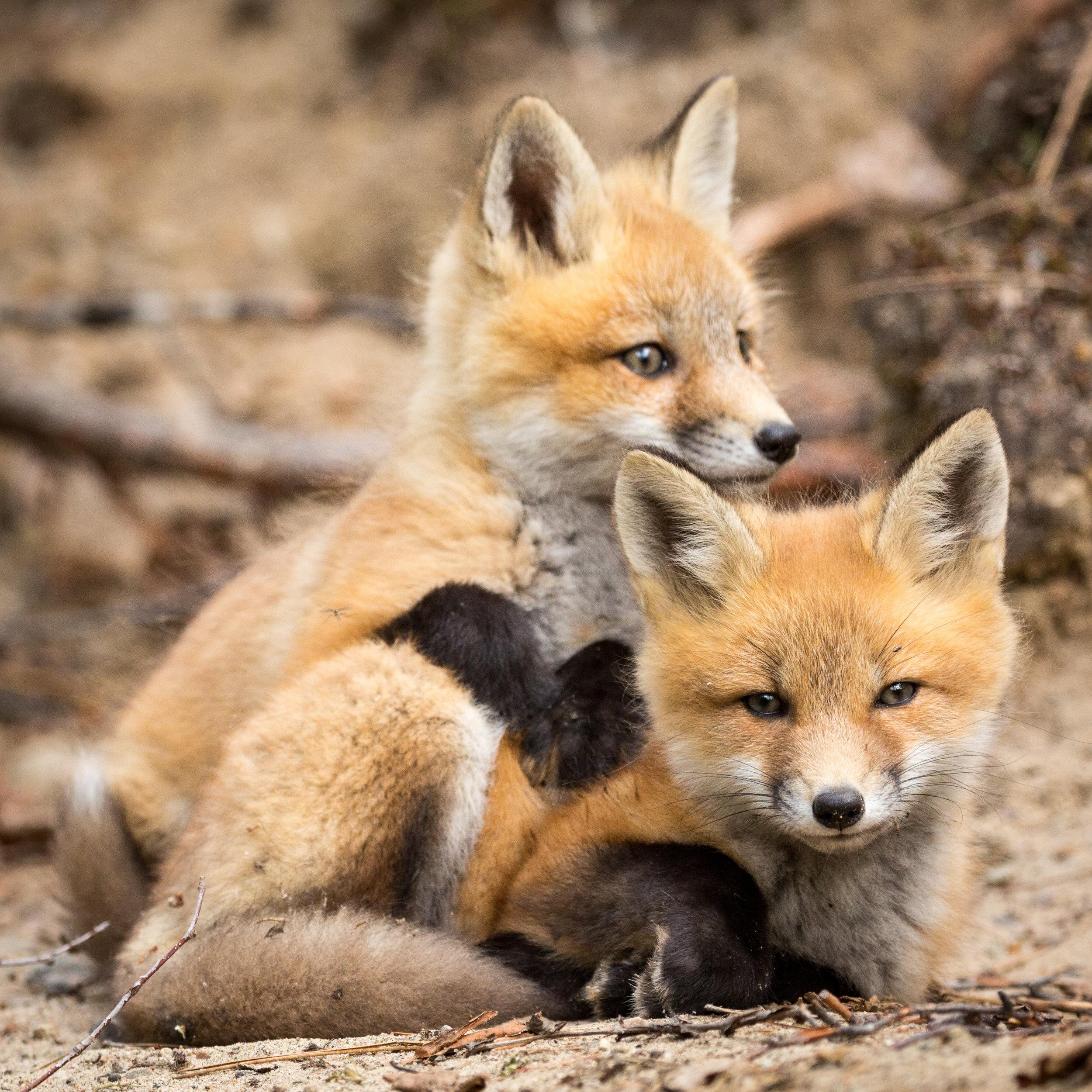 Red Fox Kits-2853.jpg