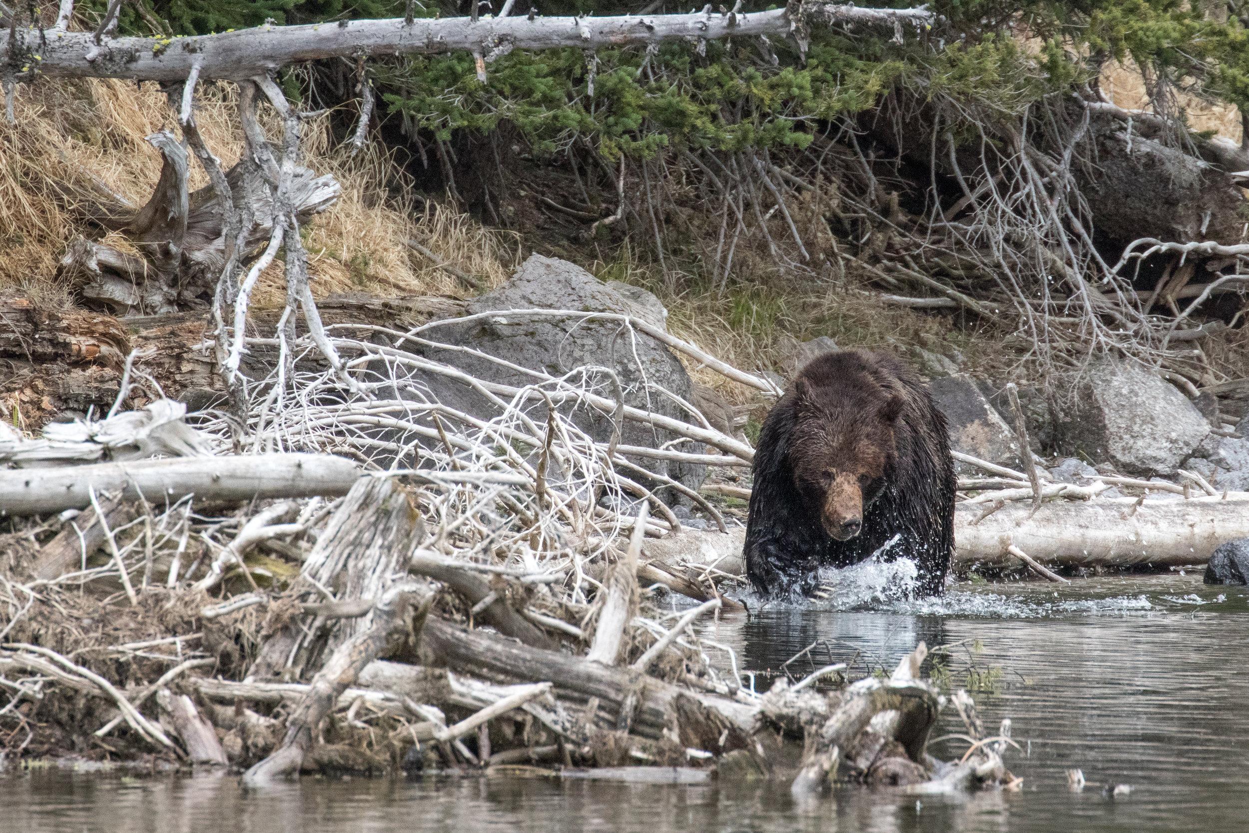 Scarface Bear 211  Grizzly-1897.jpg