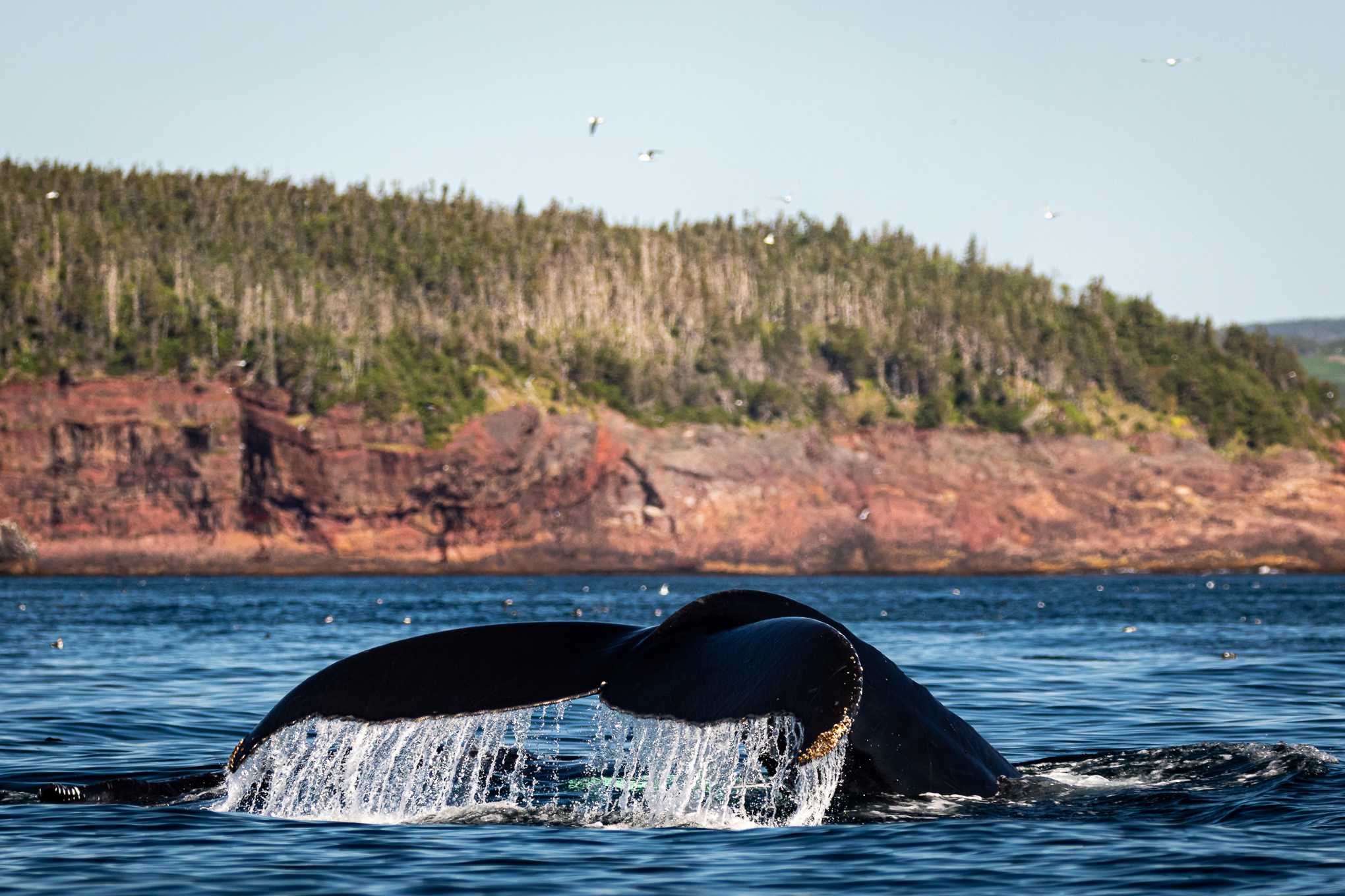 Humpback-whale-tale-WitlessBay-Newfoundland-8250.jpg