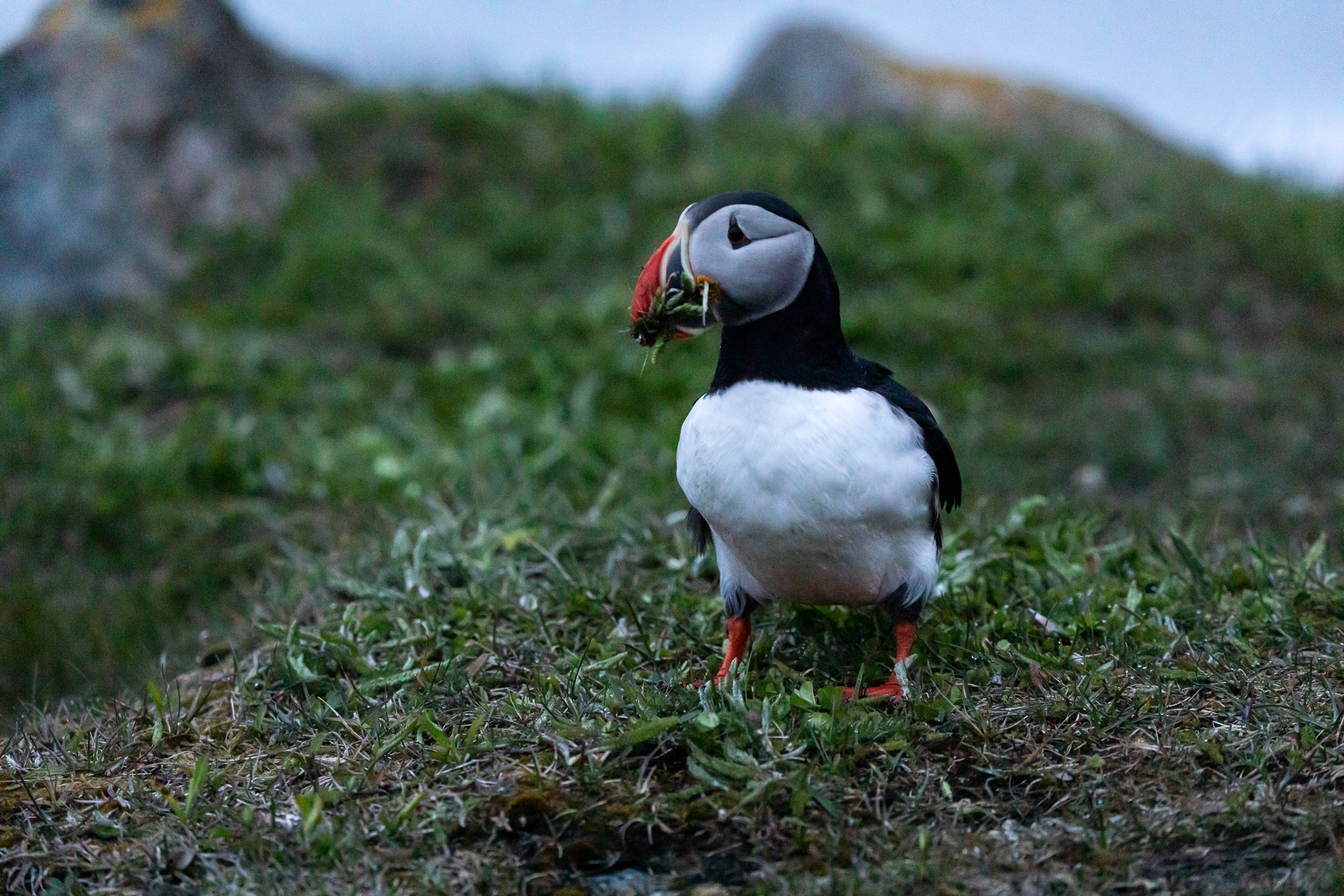 puffin-Elliston-Newfoundland-3126.jpg