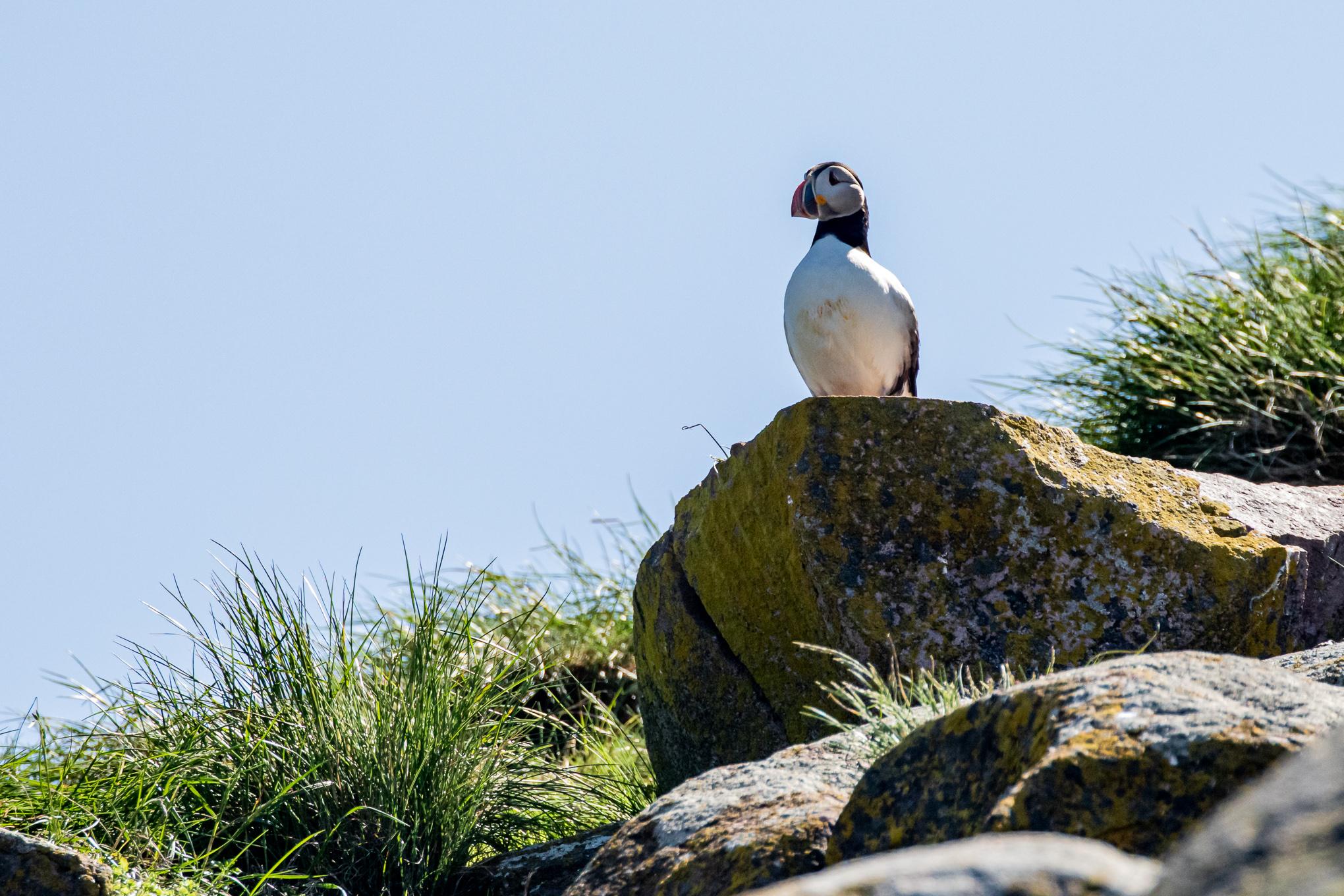 Puffin-GullIsland-WitlessBay-Newfoundland-8735.jpg