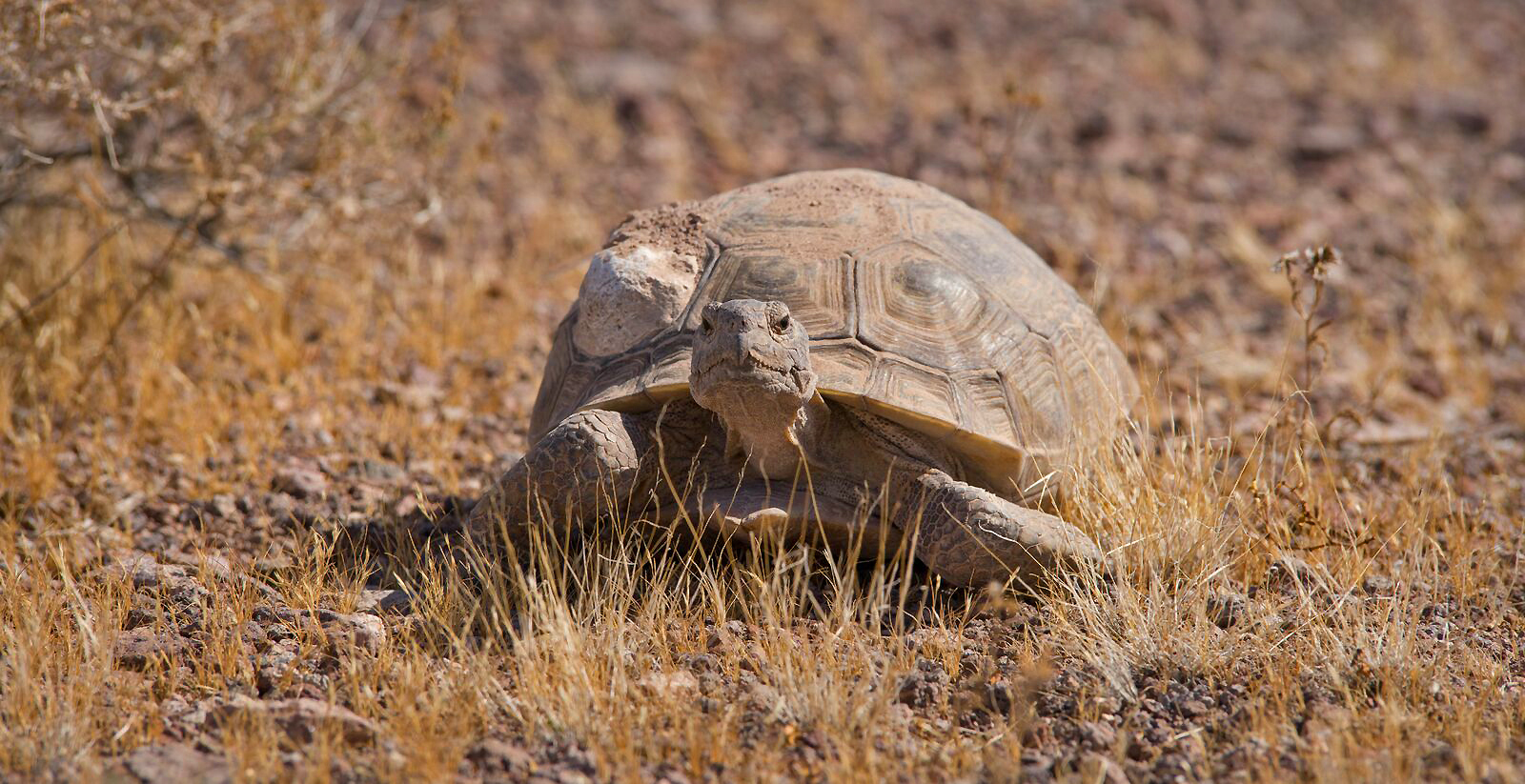 The U.S. Fish and Wildlife Service and several partners, including U.S. Geological Survey, the Bureau of Land Management, and the National Park Service, are working to defend the tortoise and its Mojave Desert home from invasive grasses. Cr.jpg