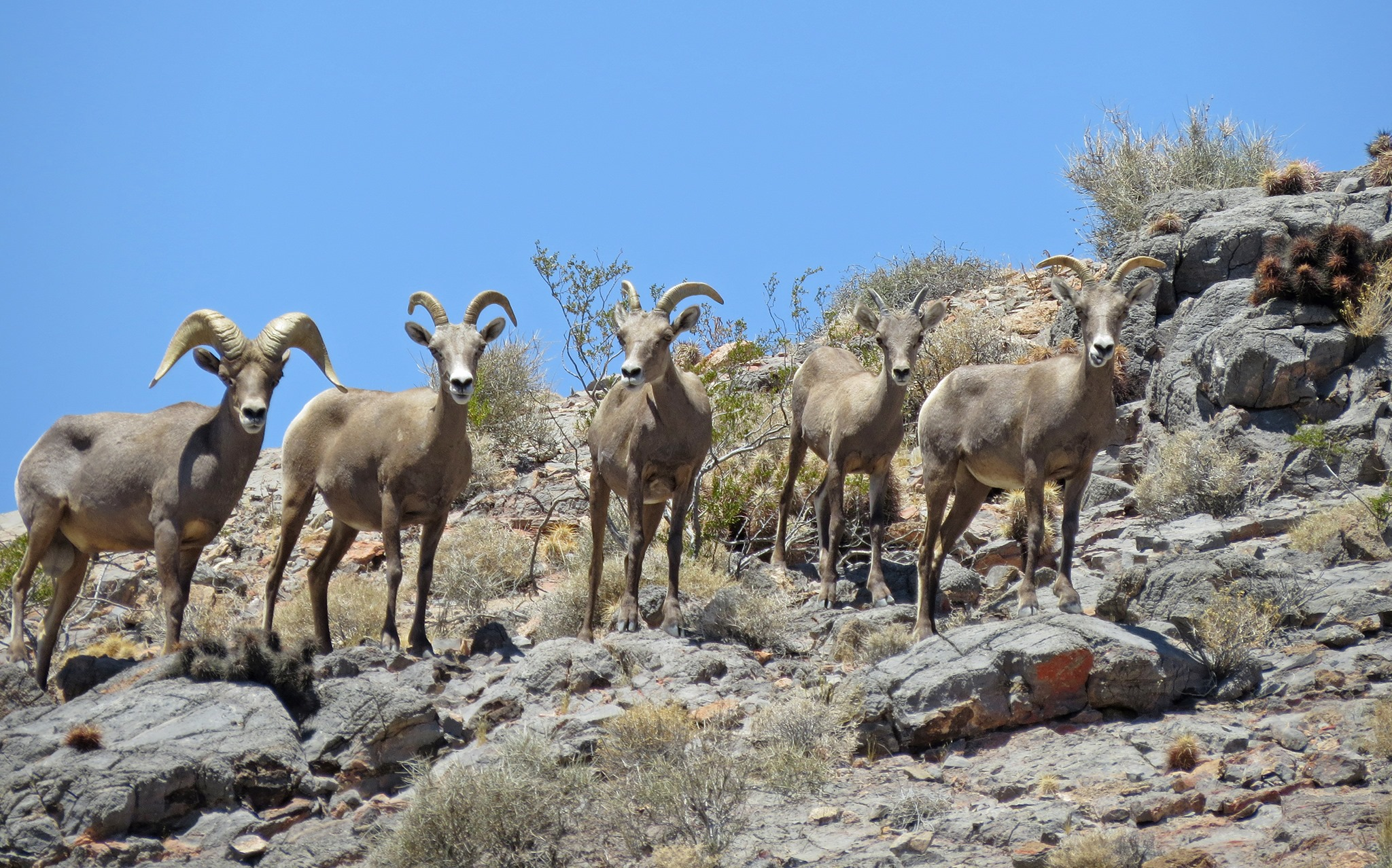 Ash Meadows NWR · August 1 · Edited ·    Thirteen bighorn sheep were spotted at Point of Rocks earlier today! These hardy desert dwellers live year-round in our area but are only occasionally seen. In the summer months at Ash Meadows, bi.jpg