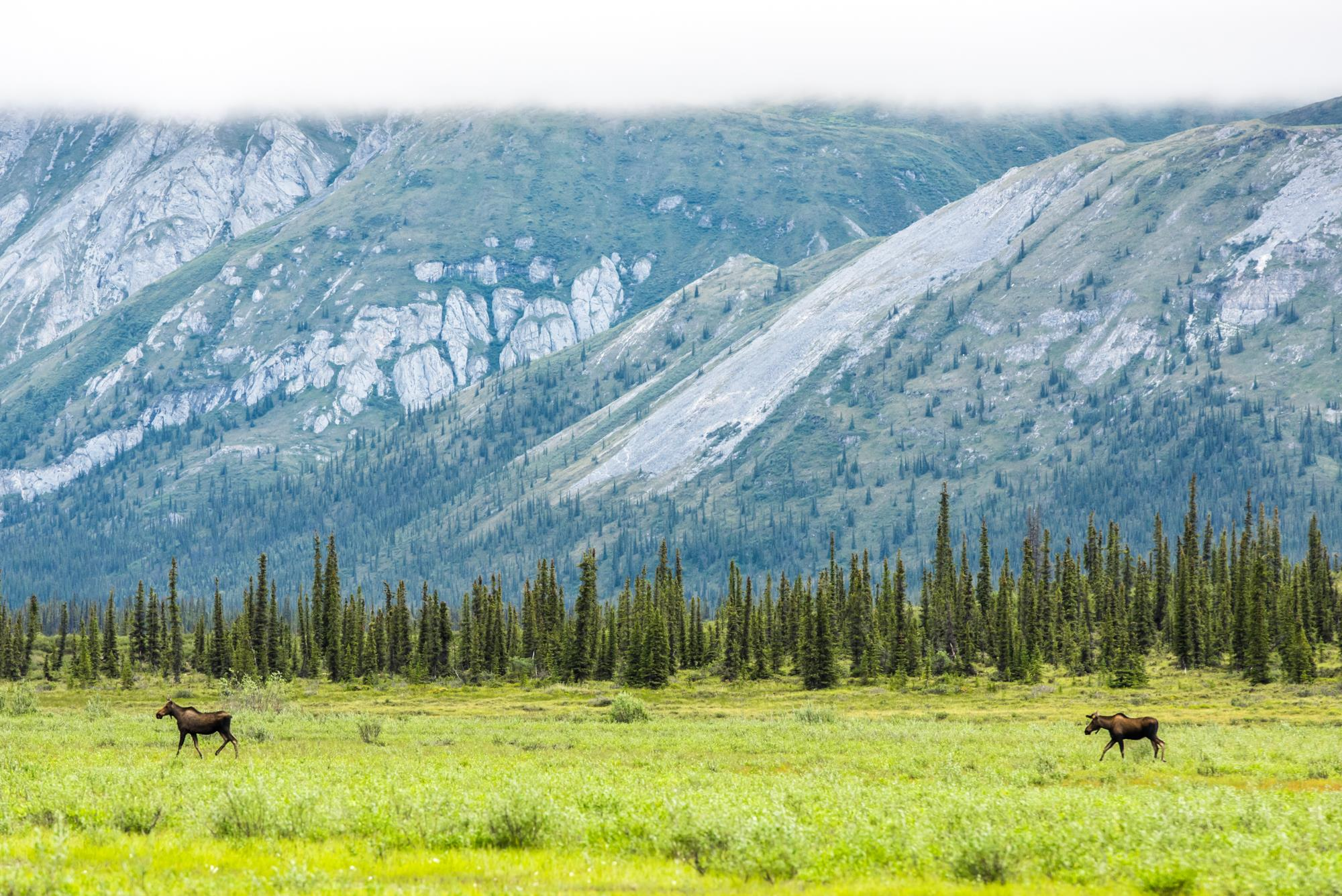 Moose in Arctic National Wildlife Refuge by USFWS
