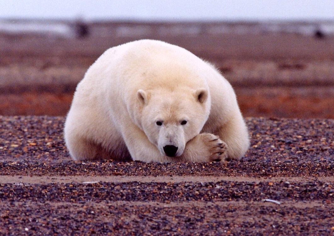 Polar Bear in Arctic National Wildlife Refuge by USFWS