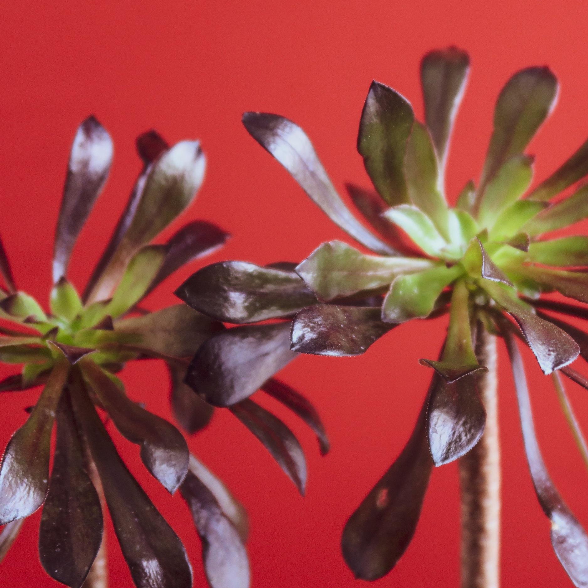 aeonium-black-rose