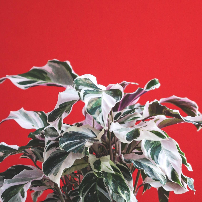 calathea-hybrid-white-fusion