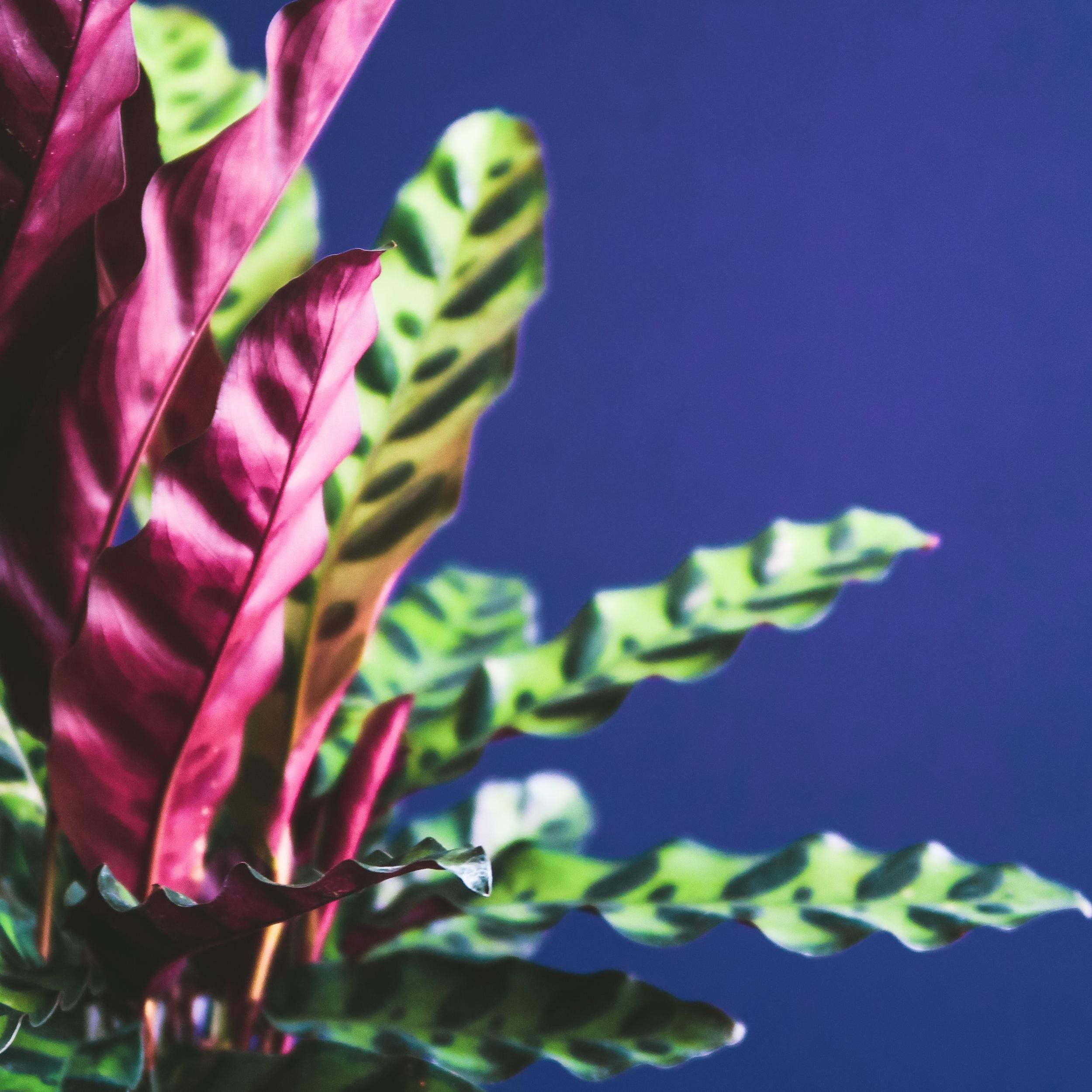 calathea-lancifolia-rattlesnake-plant.jpg