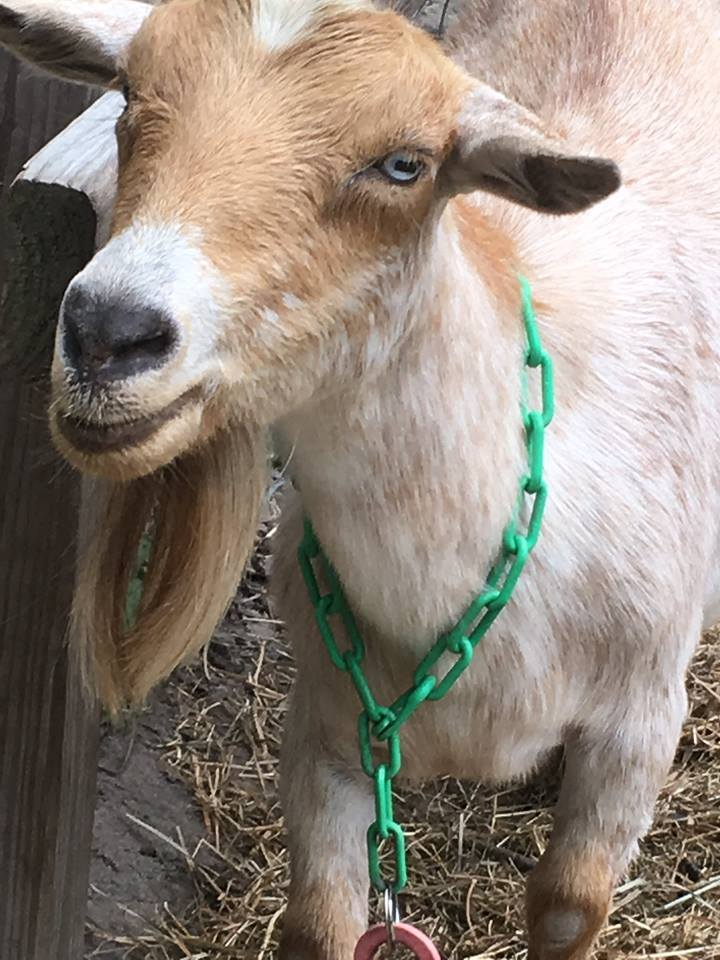 """Louise  - Thelma's nicer sister.. is the name sake of our Cheese Louise! She is the first of our milkers and taught us all about caring for goats. She is also known for screaming… into the darkness.. when it's """"that"""" time of the year."""