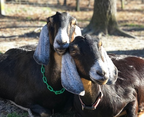 Flo and Alice  - sisters. You will always find them together, snuggled up soaking in the sun. Their beautiful Nubian faces are pretty much identical. It is by their udders we can tell them apart.