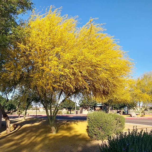 Did you hug a tree today? Celebrating Arbor Day and wonderful trees with @arbordayfountain  #arborday#worldofarizona #paloverde #arizonastatetree #hugatree #anditwasallyellow #arizonarecreation #planttrees #state48 #woarecreation #explorearizona #beautifultrees #yellow #springhassprung #arizona #desertliving #iheartnature #destinationarizona #fullbloom #badassflowers #getoutdoors #trees #arizonafun #azrec