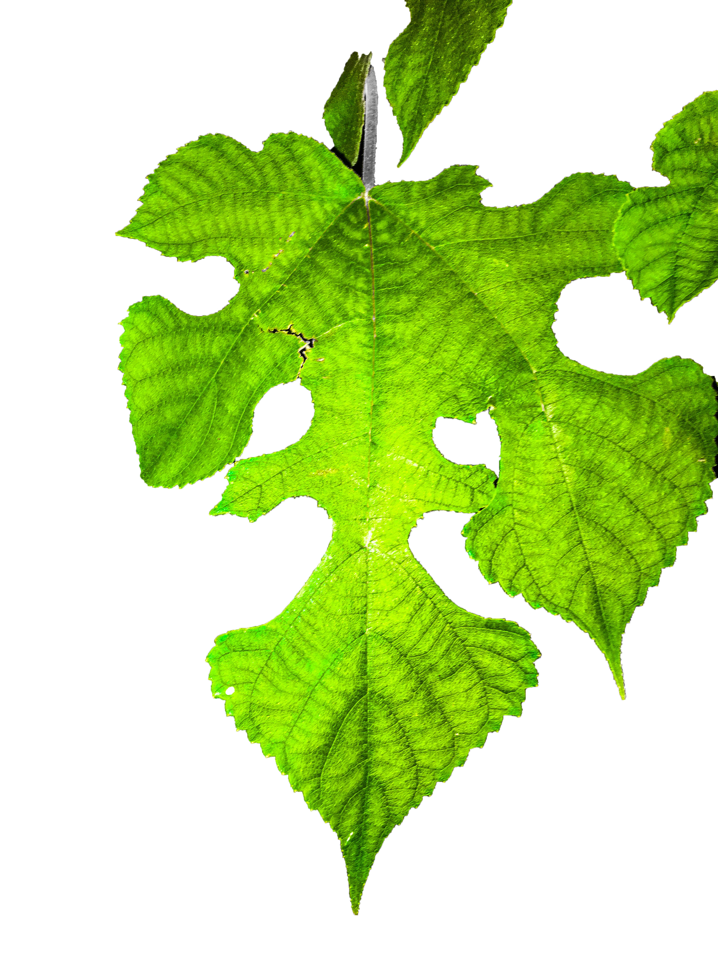 west philly leaf isolated.png