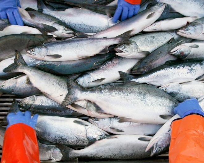 salmon-catch-prl-alliance-fisheries.jpg