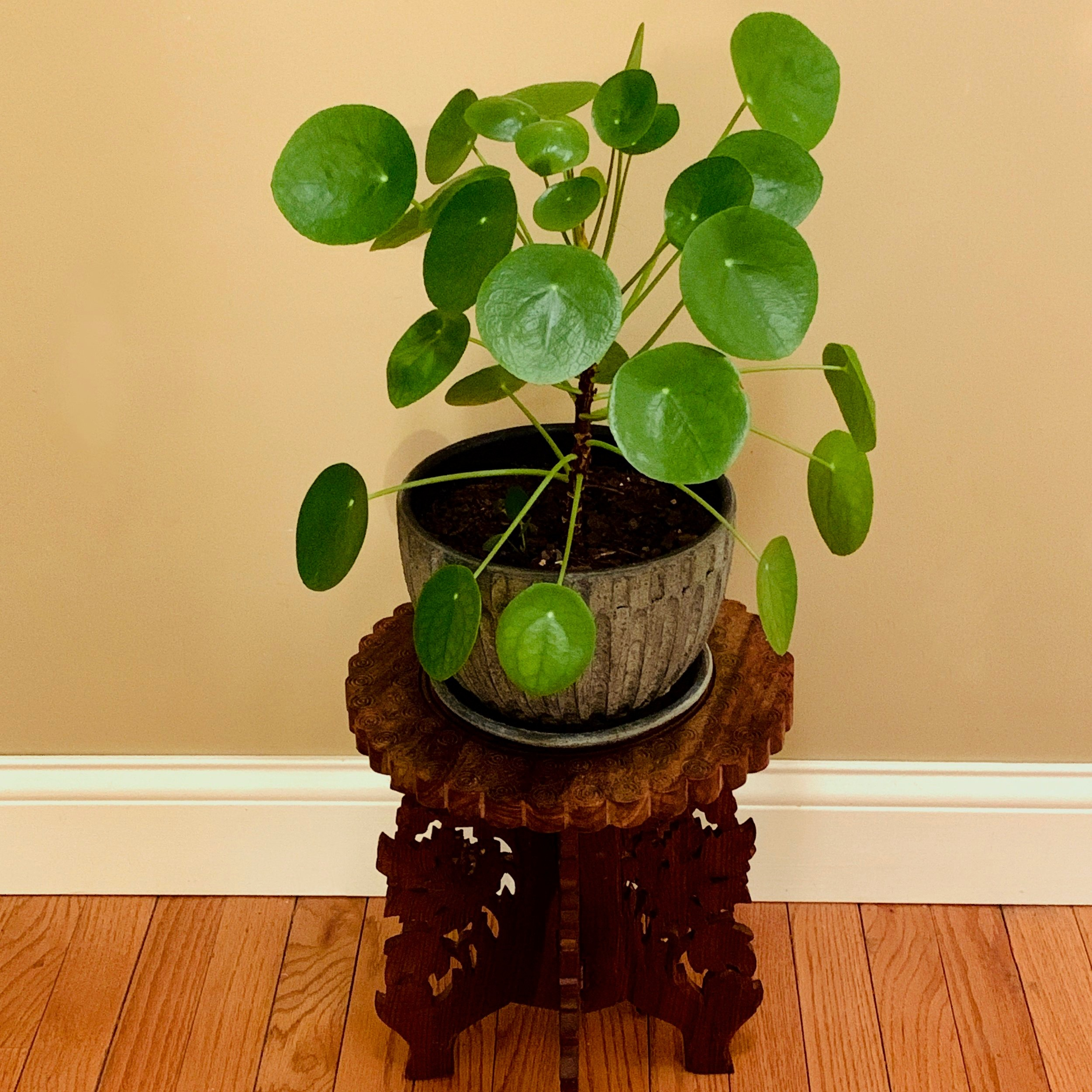 My one-year-old Pilea Peperomioides in 2019.