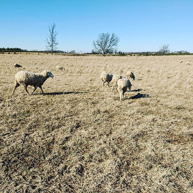 Winter grazing #pastureraised #pasturedsheep