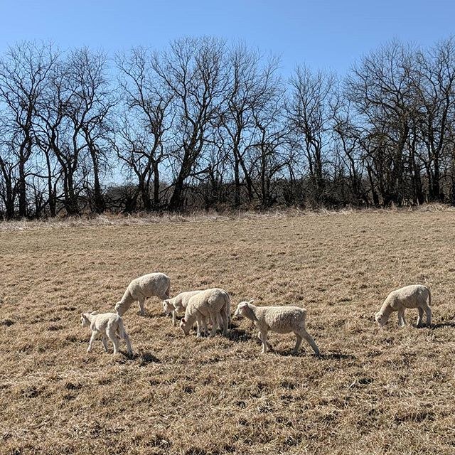 A little hard to tell the scale, but this little flock of lambs is out on their own grazing adventure! #pastureraised #pasturedsheep #slowfood #michiganfarm #march #lamb