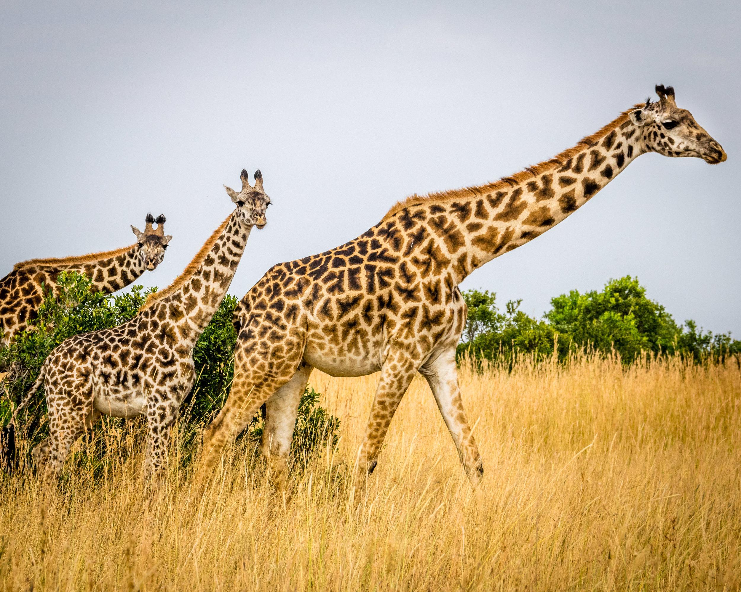Dating Woman Giraffe