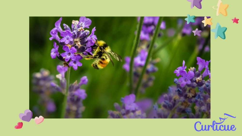 Did you know that bees can't see all colours but they can see purple?  That's why they love lavender!