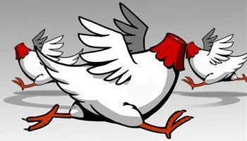 Headless-Chickens.jpg