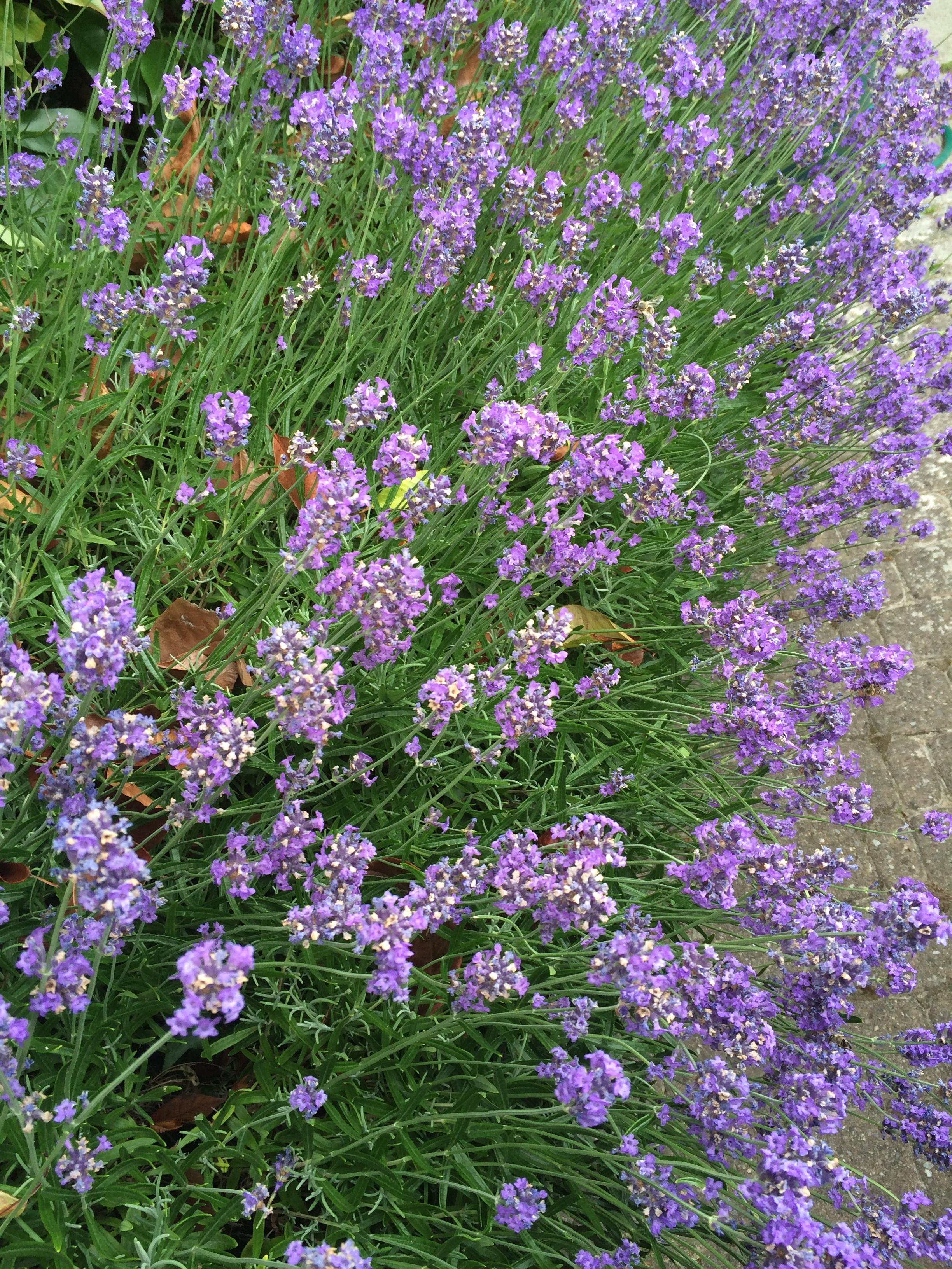 Lavendel Founex.jpg
