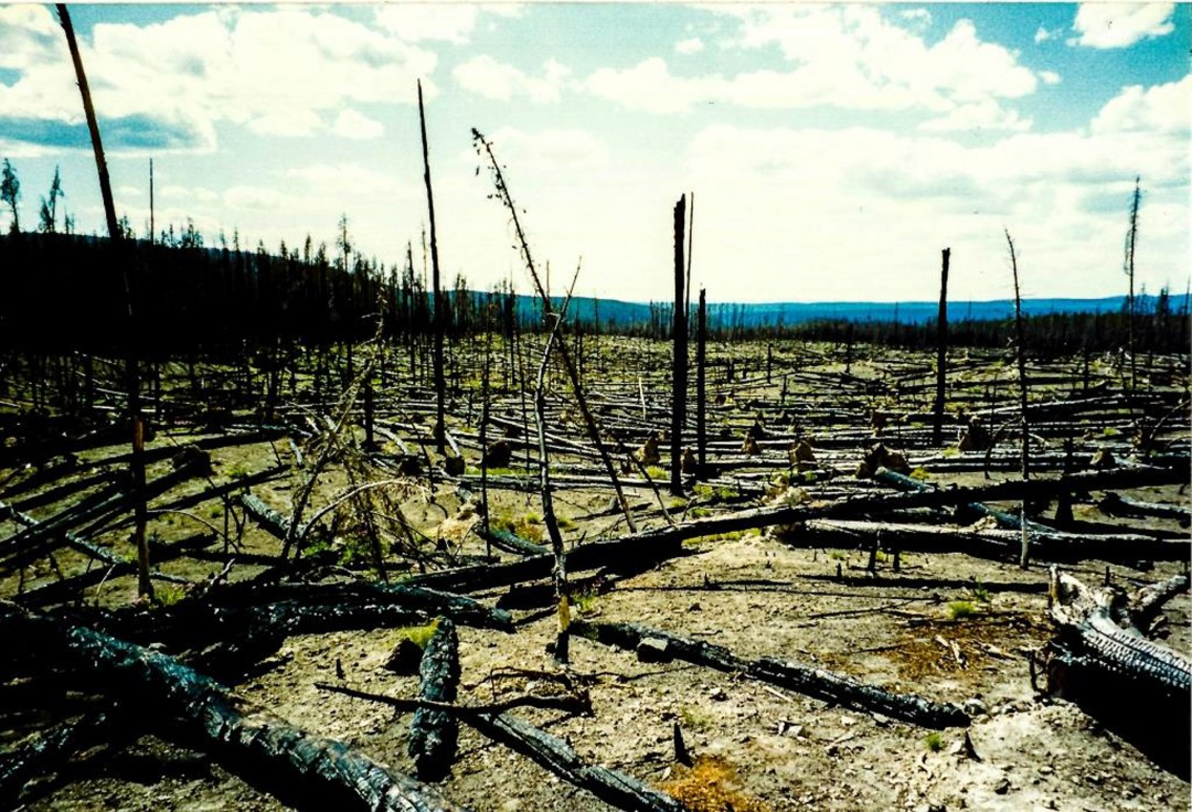A Rebirth After Fire in Yellowstone - Dominick Scala