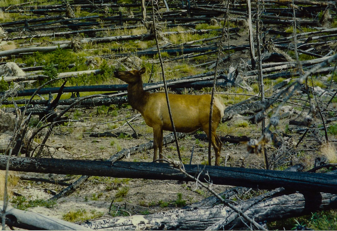 The Wildlife Survive in Yellowstone - Dominick Scala