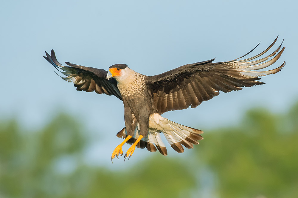 Crested Caracara in flight. 2017 © Hector D. Astorga
