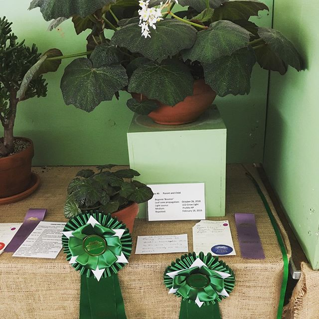 Entered the Newport Flower Show Parent-Child class with this mature B. 'Boomer' and a leaf-cone started last October. Won Best-in-Show and Master Gardener award!