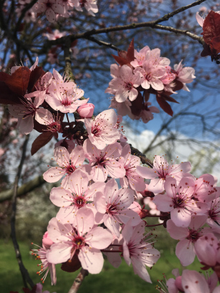 berlin-botanical-gardens-cherry-blossoms-1.jpg