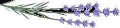 2018 Lavender Buds