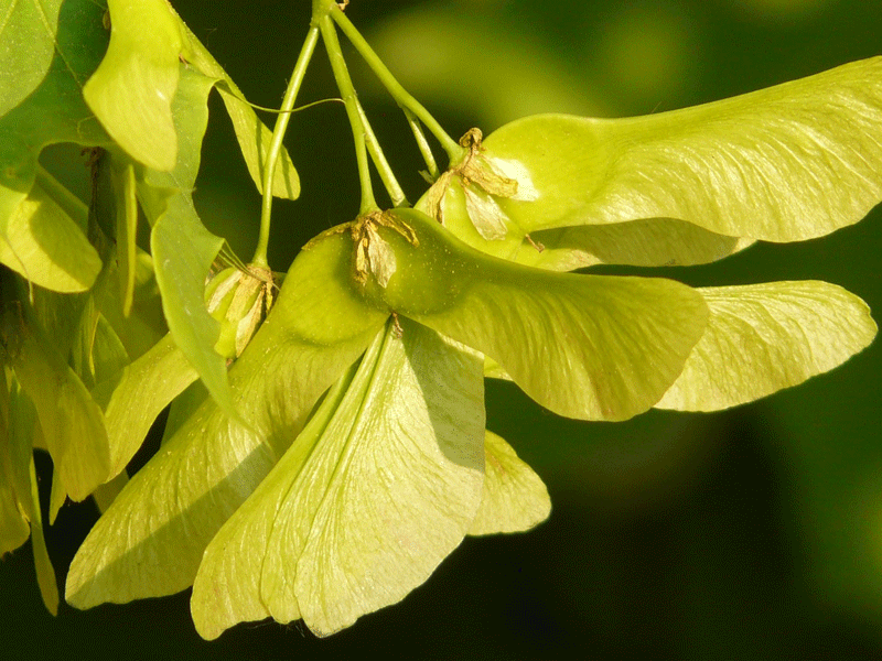 maple-fruit-7194_1920SEO.png