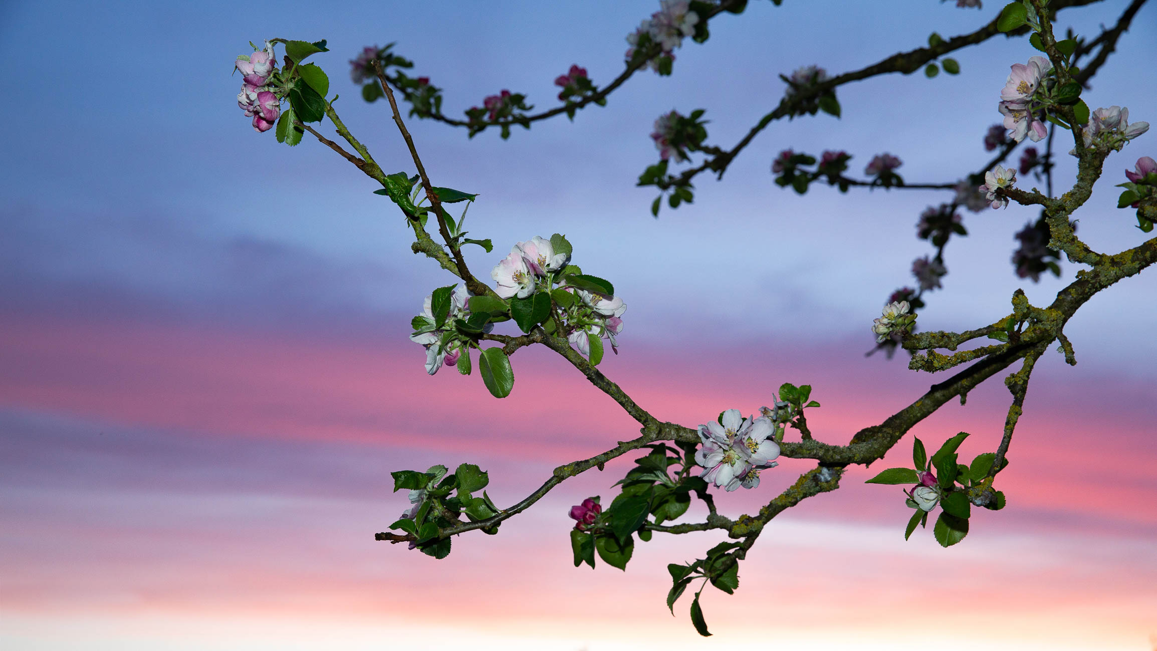 Apple Blossom Sunset-7019.jpg