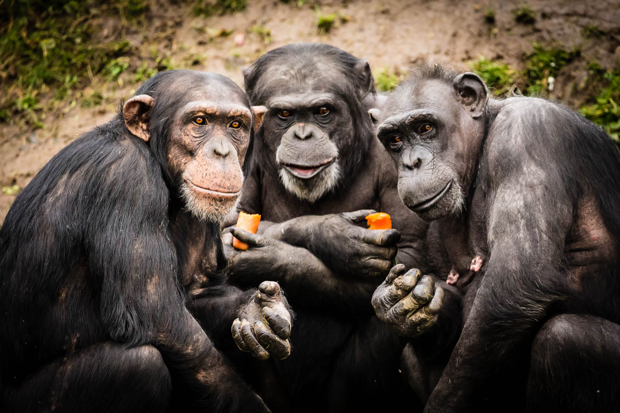 Chimps Plotting.jpg