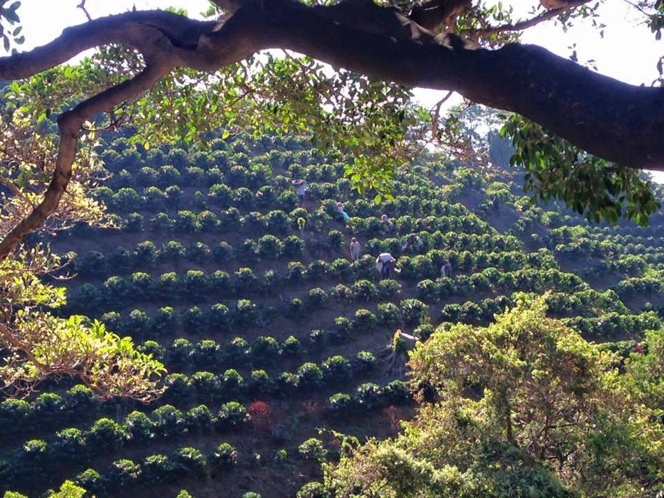 Coffee Fields