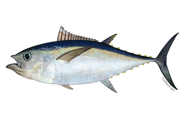 Big eye Fisheries.noaa.gov.png